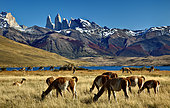 Guanaco (Lama guanicoe) in front of the Cuernos Massif, Torres del Pain National Park, Patagonia, Chile