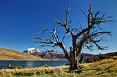 Dead tree on the shore of a lake and Cuernos mountain range, Torres del Paine, Patagonia, Chile