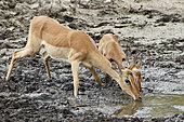 Impala (Aepyceros melampus) drinking at a river in drought, Kruger, South Africa