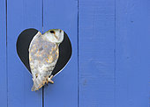 Barn owl (Tyto alba) [erched inside a blue door, England