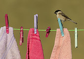 Marsh tit (Poecile palustris) perched on a cloth peg, England