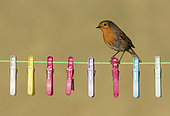 Robin (Erithacus rubecula) perched on a washing line, cloth peg, England