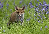 Red fox (Vulpes vulpes) cub standing amongst bluebell, England