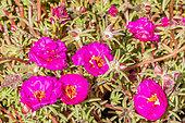 Portulaca grandiflora 'Sunseeker'