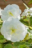 Begonia tuberhybrida 'Non Stop White'