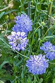 Scabiosa Atropurpurea 'Qis Bleu Foncé'
