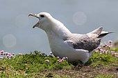 Northern fulmar(Fulmarus glacialis) on ground, Saltee islands (Ireland)