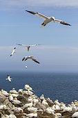 Fou de Bassan (Morus bassanus) colonie nicheuse, Saltee Islands, Irlande