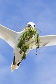 Fou de Bassan (Morus bassanus) en vol avec matériel pour le nid, Saltee Islands, Irlande