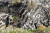 Razorbill (Alca torda) nesting colony on cliff, Saltee islands, Ireland