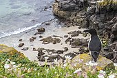 Razorbill (Alca torda) on cliff, Saltee islands, Ireland