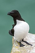 Razorbill (Alca torda) on rocher, Saltee islands, Ireland