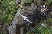 Northern fulmar(Fulmarus glacialis) in flight, Saltee islands (Ireland)
