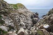 Fou de Bassan (Morus bassanus) colonie nicheuse sur falaise, Saltee Islands, Irlande