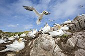 Northern gannet (Morus bassanus) Colony nesting, Saltee islands, Ireland