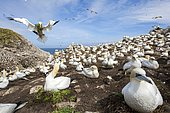Northern gannet (Morus bassanus) Colony nesting, Saltee islands, Ireland. Finalist at Golden Turtle award 2018.