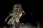 Long-eared owl (Asio otus) at night, Cordoba, Andalucia, Spain