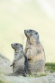 Two alpine marmots (Marmota marmota), High Tauern National Park, Carinthia, Austria, Europe