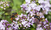 Painted Nomad Bee (Nomada fucata) foraging on thyme, Regional Natural Park of Vosges du Nord, France