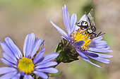 Black-thighed Epeolus (Epeolus variegatus) on Italian Starwort (Aster amellus), Regional Natural Park of Vosges du Nord, France
