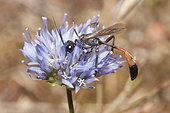 Sand Wasp (Ammophila pubescens) on Jasione flower, Regional Natural Park of Vosges du Nord, France