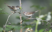 Common Whitethroat (Sylvia communis) couple in a hedge, Northern Vosges Regional Nature Park, France