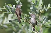 Common Whitethroat (Sylvia communis) couple in an alder, Northern Vosges Regional Nature Park, France