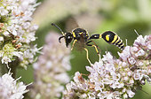 Potter wasp (Eumenes papillarius) male on Mint flowers, Regional Natural Park of Northern Vosges, France
