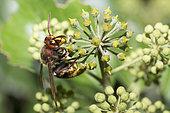 European Hornet (Vespa crabro) feeding on Ivy nectar, Vosges du Nord Regional Nature Park, France