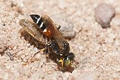 Digger wasp (Harpactus elegans) female carrying a Leafhopper in her gallery, France