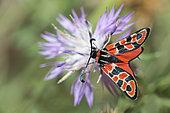 Zygaena (Zygaena fausta) on flower, Mont Ventoux, Provence, France