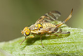 Fruit fly (Chaetostomella cylindrica), Regional Natural Park of Northern Vosges, France