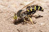 Sand wasp (Bembix rostrata) digging its gallery, Regional Natural Park of Vosges du Nord, France