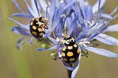 Fourteen-spotted Lady Beetle (Propylaea quatuordecimpunctata) on Sheep's-bit (Jasione montana), Regional Natural Park of Northern Vosges, France