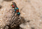 Jewel Wasp (Hedychrum niemelai) female, on the lookout Regional Natural Park of Northern Vosges, France