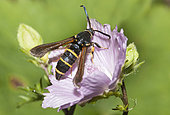 Dusky Clearwing (Paranthrene tabaniformis) foraging the mallow, Northern Vosges Regional Nature Park, France