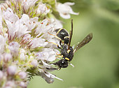 Mason wasp (Leptochilus alpestris) on mint, France