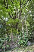 Banyan on Upeke archaeological site in Taaoa, Atuona commune, Hiva Oa island, Marquesas islands, French Polynesia