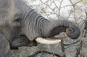 African bush elephant or African savanna elephant (Loxodonta africana), Mala Mala game reserve, South African Republic