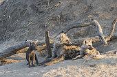 Hyène tachetée (Crocuta crocuta), jeunes de différentes générations au terrier, se reposent au sol, Réserve de Mala Mala, Afrique du Sud