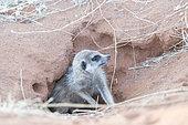 Suricate (Suricata suricatta) à l'entrée du terrier, Désert du Kalahari, Afrique du Sud