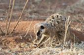 Meerkat or suricate (Suricata suricatta), eats a scorpion, Kalahari Desert, South African Republic