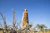 Suricate (Suricata suricatta) sentinelle perchée sur un arbre, Désert du Kalahari, Afrique du Sud