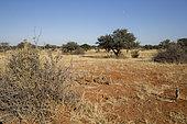 Suricate (Suricata suricatta) sentinelle perchée sur un arbre et groupe en alerte, Désert du Kalahari, Afrique du Sud