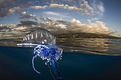 Portuguese Man O'war (Physalia physalis) in front of a reef, Tahiti, French Polynesia