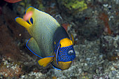 Yellowface angelfish (Pomacanthus xanthometopon) and Bluestreak cleaner wrasse (Labroides dimidiatus), Komodo, Indonesia