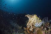 Broadclub Cuttlefish (Sepia latimanus) on a reef, Komodo, Indonesia