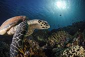 Hawksbill sea turtle (Eretmochelys imbricata) on a reef, Komodo, Indonesia
