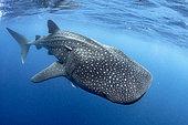 Whale shark (Rhincodon typus), Gulf of Mexico