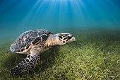 Hawksbill Turtle (Eretmochelys imbricata) on sea grass, Yucatan, Mexico